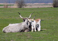 Podolian calf and cow Stock Photography