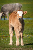 Podolian calf. On the green pasture Stock Images