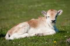 Podolian calf. On the green pasture Royalty Free Stock Image