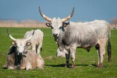 Podolian cow and bull Stock Photos