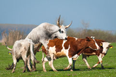 Podolian cow and bull Stock Photography