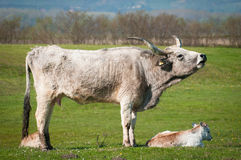 Podolian cow and calf Stock Photography
