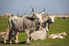 Podolian cow and calf Royalty Free Stock Images