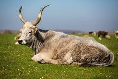 Podolian cow Royalty Free Stock Photo