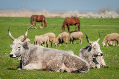 Podolian cow Royalty Free Stock Images