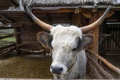 Podolian cow, wild cow Stock Images