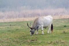Podolian-Kuh, wilde Kuh Lizenzfreie Stockbilder