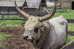 Podolian-Stier mit großen Hörnern am Bauernhof Stockbilder
