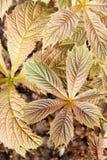 Podophylla Rodgersia Στοκ Εικόνα