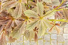 Podophylla Rodgersia Στοκ εικόνα με δικαίωμα ελεύθερης χρήσης