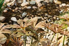Podophylla Rodgersia Στοκ εικόνες με δικαίωμα ελεύθερης χρήσης