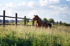 Podpalanego konia bieg cwał na polu Zdjęcia Stock