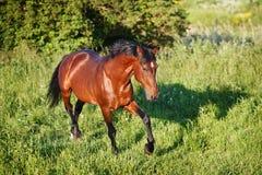 Podpalanego konia bieg cwał na polu Obrazy Royalty Free
