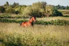 Podpalanego konia bieg galopują na wolności Zdjęcie Stock