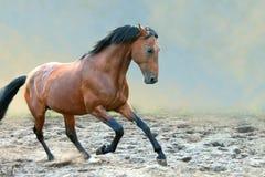 Podpalanego konia bieg galopują na nadziemskim tle Zdjęcie Royalty Free