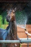 Podpalanego konia obmycie zdjęcie stock