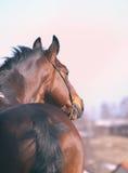 podpalanego konia portret Obrazy Royalty Free