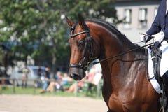 Podpalanego konia portret podczas dressage przedstawienia Zdjęcia Stock