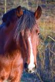 Podpalanego konia portret z Mohawk zdjęcie royalty free