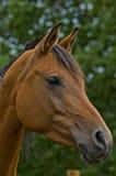 podpalanego konia profil Zdjęcia Royalty Free
