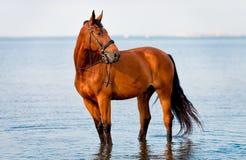 Podpalanego konia trwanie woda i spojrzenia Fotografia Stock