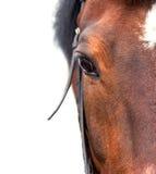 Podpalanego konia zakończenie up na białym tle Zdjęcie Royalty Free