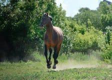 Podpalanego sporta końscy bieg galopują na wolności w lecie fotografia royalty free