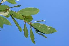 podpalani świezi ziele odizolowywający liść biały Zdjęcia Stock