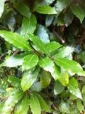 podpalani świezi ziele odizolowywający liść biały zdjęcie stock