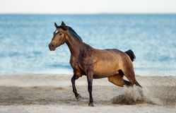 Podpalani iberian końscy bieg uwalniają na plaży blisko morza Fotografia Royalty Free