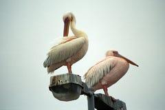 podpalani Namibia pelikanów walwis biały Obrazy Stock