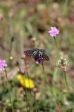 Podpalany Checkerspot motyl na Różowym kwiacie Obraz Royalty Free