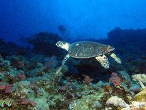 podpalany el hawksbill s rekinu sharm sheikh brać żółw zdjęcie stock