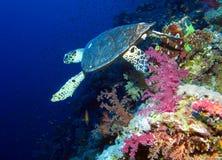 podpalany el hawksbill s rekinu sharm sheikh brać żółw obrazy stock