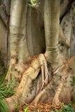 Podpalany figi drzewo Obrazy Royalty Free