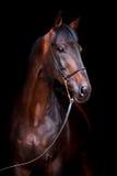 Podpalany koń odizolowywający na czerni Fotografia Stock