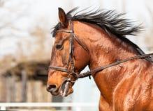 Podpalany koń w profilu przy areną Fotografia Royalty Free