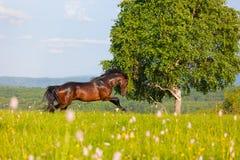 Podpalany koń Obraz Royalty Free