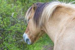 Podpalany koloru konia zakończenie up Obrazy Royalty Free
