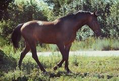 Podpalany sporta koń iść krok na wolności w lecie obrazy stock
