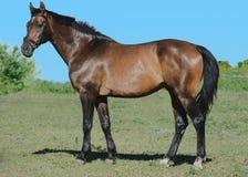 Podpalany trakehner sporta konia stojak na zieleni i nieba tle Boczny widok zdjęcie royalty free