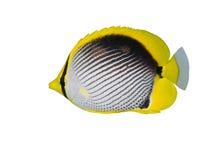 podparta czarny motylia ryba Fotografia Royalty Free