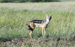 podpartego czarny Botswana canis chobe szakala męscy mesomalas park narodowy potomstwa Obraz Stock