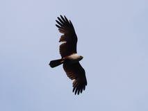 podpartego orła czerwony morze Obraz Royalty Free