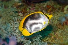 podparty czarny butterflyfish chaetodon melannotus Obraz Royalty Free