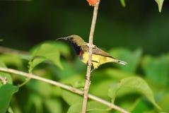 podparty oliwny sunbird Zdjęcie Royalty Free
