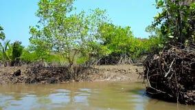 Podpierający korzenie mangrowe, Chaung Tha, Myanmar zbiory