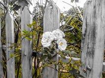 Podróż kwiatu fotografii życie róże obrazy stock