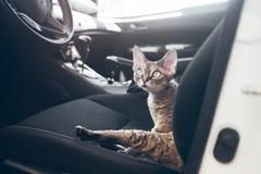 Podróż Z zwierzętami domowymi Kot jest podróżny w samochodzie Piękny Devon rex Zdjęcie Stock