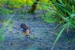 Podróżniczek Svecica w dzikiej naturze lub Luscinia fotografia royalty free